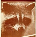 Raccoons, Book One